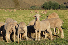 Lambs on pasture Royalty Free Stock Photos