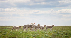 Lambs in the pasture Royalty Free Stock Image