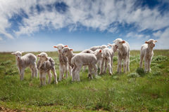 Lambs in the pasture. Under a blue sky with clouds Royalty Free Stock Photography