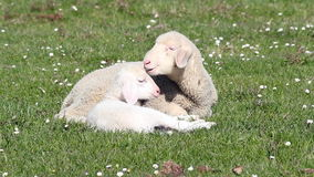 Lambs on pasture. White lambs on green pasture stock footage