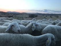 Lambs in a path stock photo