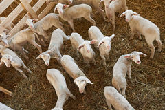 Lambs in pen on farm Royalty Free Stock Photo