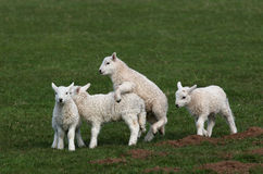 Lambs Playing royalty free stock photography