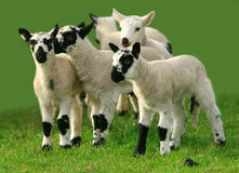 Lambs Playing. Five lambs playing in a field Stock Images