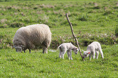 Lambs playing with branch Royalty Free Stock Photo