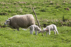 Lambs playing with branch Royalty Free Stock Photos