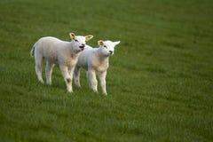 Lambs playing at the Stock Photo