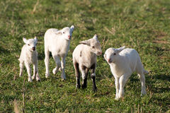 Lambs playing. Ewes and lambs in a grassy field Royalty Free Stock Image
