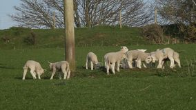 Lambs playing stock video