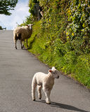 Lambs playing on road Royalty Free Stock Images
