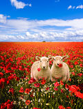Lambs and poppies Royalty Free Stock Photo