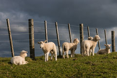 Lambs resting at fence Royalty Free Stock Photos