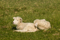 Lambs resting on grass Stock Image