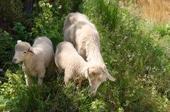 Lambs in the rice paddies. Mae Hong Son Thailand. Lambs in the rice paddies after harvest. Mae Hong Son Thailand Royalty Free Stock Photos