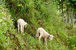 Lambs in the rice paddies. Mae Hong Son Thailand. Lambs in the rice paddies after harvest. Mae Hong Son Thailand Royalty Free Stock Photo