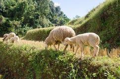 Lambs in the rice paddies. Mae Hong Son Thailand. Lambs in the rice paddies after harvest. Mae Hong Son Thailand Stock Photos