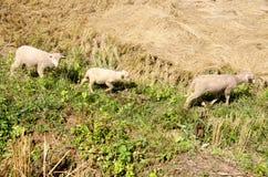 Lambs in the rice paddies. Mae Hong Son Thailand. Lambs in the rice paddies after harvest. Mae Hong Son Thailand Stock Image