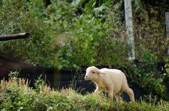 Lambs in the rice paddies. Mae Hong Son Thailand. Lambs in the rice paddies after harvest. Mae Hong Son Thailand Stock Photo