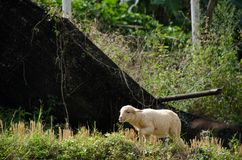 Lambs in the rice paddies. Mae Hong Son Thailand. Lambs in the rice paddies after harvest. Mae Hong Son Thailand Stock Photography