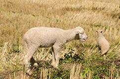 Lambs in the rice paddies. Mae Hong Son Thailand. Lambs in the rice paddies after harvest. Mae Hong Son Thailand Royalty Free Stock Images
