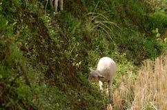 Lambs in the rice paddies. Mae Hong Son Thailand. Lambs in the rice paddies after harvest. Mae Hong Son Thailand Royalty Free Stock Image
