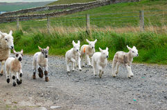 Lambs running. Lambs aged 7 days, and their mothers being moved to another field going past my house Stock Photo