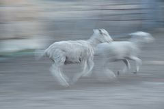 Lambs running in the dust. Tiny lambs running and playing in the dust Royalty Free Stock Images