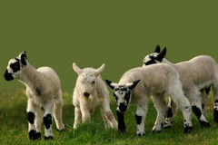 Lambs Scampering Around. Four lambs in playing in a meadow Royalty Free Stock Photos