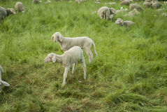 Lambs and Sheep Stock Photos