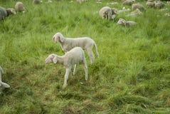 Lambs and Sheep. Sheep farm - sheep and lambs Stock Photos