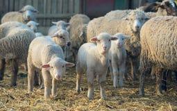 Lambs and sheep at farm.  royalty free stock image
