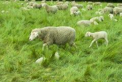 Lambs and Sheep. Sheep farm - sheep and lambs - closeup - green grass - trees - spring time Stock Photo