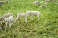 Lambs. Sheep farm - sheep and lambs Royalty Free Stock Photography