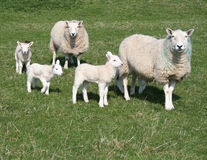 Lambs and sheep in field Stock Photo
