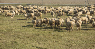 Lambs and sheep in the flock Royalty Free Stock Photography