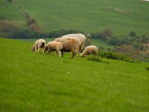 Lambs And Sheep Grazing. A family of young lambs and sheep grazing in a field on a hillside with a countryside scene in the background Royalty Free Stock Photo