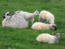Lambs and sheep grazing in a field. Lambs and sheep sat down with lamb grazing in a field Royalty Free Stock Images