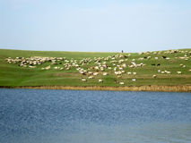 Lambs and sheep on a green field  Stock Photography