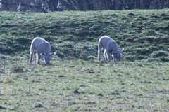 Lambs of a sheep on a meadow with dew drops in Capelle aan den I. Jssel the Netherlands Stock Images