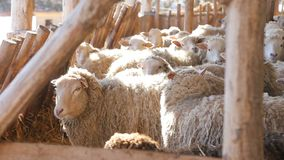 Lambs and sheep in rays of morning sun local organic farm stock video footage