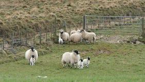 Lambs and sheep running Royalty Free Stock Photos