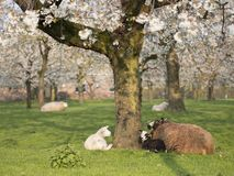 Lambs and sheep in spring under blossoming cherry trees in dutch orchard near utrecht royalty free stock photography