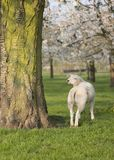 Lambs and sheep in spring under blossoming cherry trees in dutch orchard near utrecht royalty free stock images