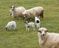 Lambs and sheeps. Sheeps and lambs on the green field Stock Photo