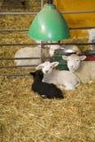 Lambs and sheeps Stock Photos