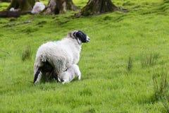 lambs sheeps Arkivfoto