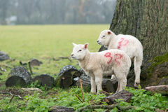 Lambs sheltering from the rain on the Easter Weekend Stock Photos