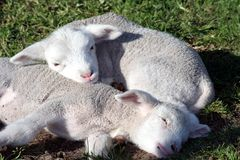 Lambs Sleeping Stock Image