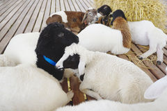 Lambs sleeping on timber deck Stock Images