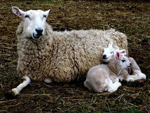 Lambs snuggle mama Royalty Free Stock Image